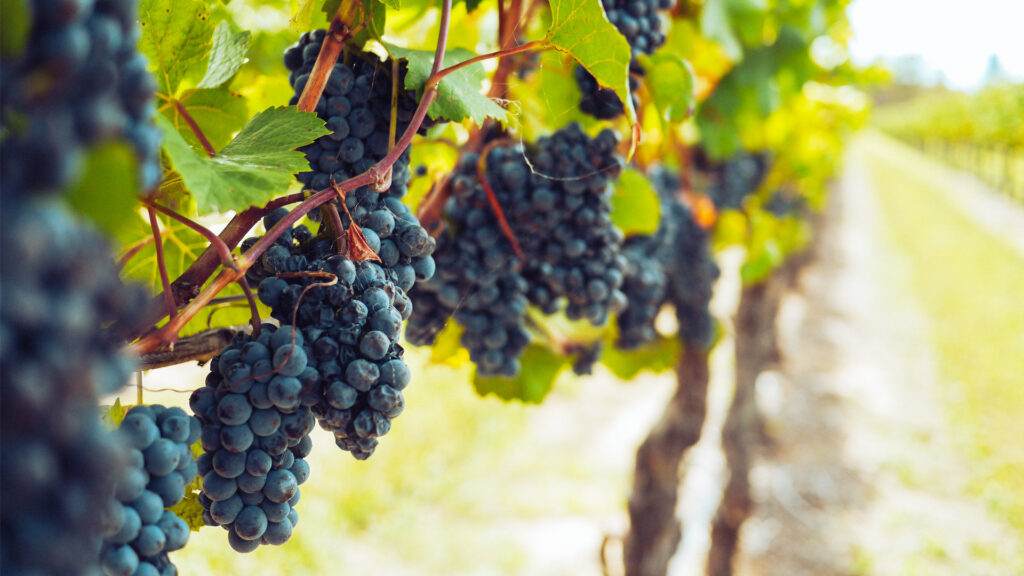Vinum S - wijngaard rode druiven