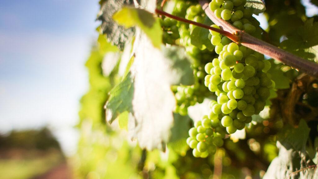 Vinum S - wijngaard witte druiven